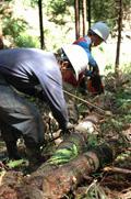 先山で葉枯らし乾燥をかけた丸太にワイヤーを掛け、集材
