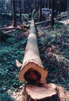 スギは、材価と材の重量の軽減を考慮し、葉枯らし乾燥して生産している