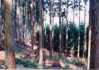 天竜フォレスターでは森林管理を受託して、間伐収入の一部で隣接する若齢林(写真奥)の保育間伐を行っている