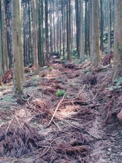 昨年の間伐現場。使用しない作業路は路面保護のために枝条で覆われている